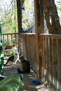 Kitty confrontation, Scrounge Cat 4 (aka Buddy) in foreground with Scrounge Cat 1